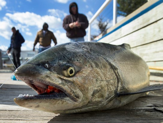 A freshly caught Chinook salmon hauled in by Wendy Morris flops around on the dock in Port Washington.