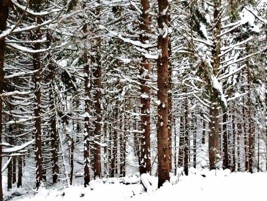 636511167061600935-Norway-spruce-forest-1024x555-.jpg