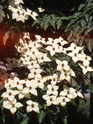 The Kousa Dogwood is a small 30-feet tall ornamental tree with white flowers in June. Plant this tree in a sunny location with acidic soil.