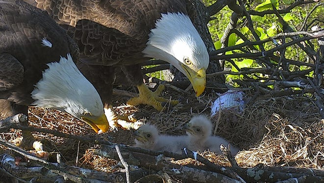 Eaglets initially identified as DC2 and DC3 ultimately were named Freedom and Liberty on April 26, 2016, after a Twitter and Instagram contest.