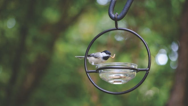 You can put out live mealworms to bring in chickadees, nuthatches and woodpeckers.