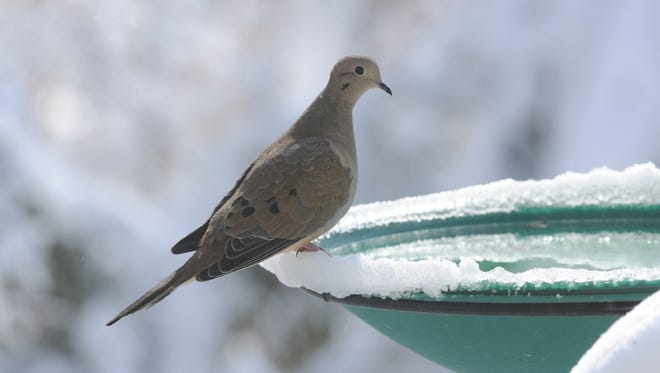 Mourning doves generally store seeds in their crop, which is an enlarged part of their esophagus.
