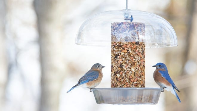 Bluebirds love mealworms (live are more successful than dried) and can be drawn in with a small dish filled with mealworms.