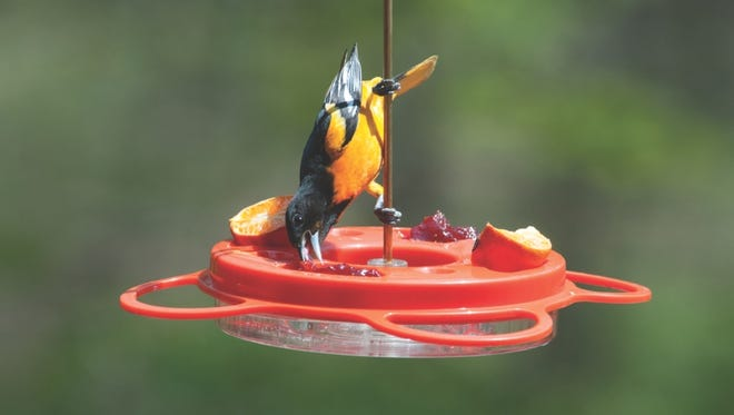 In addition to nectar, orioles love grape jelly.