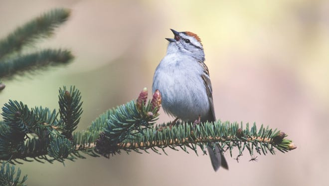A walk through the woods will shower you with a symphony of birds sounds, including this chipping sparrow.