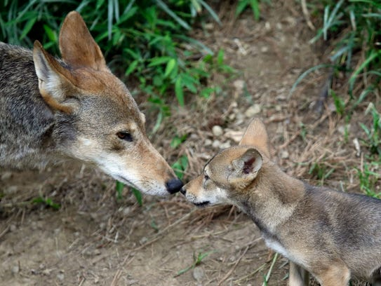 A 7-week old red wolf pup touches noses with its mother