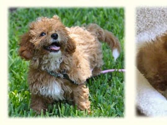 Cava-poo-chon puppies