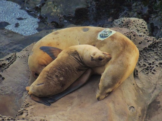 A satellite-tagged sea lion and her pup in California's