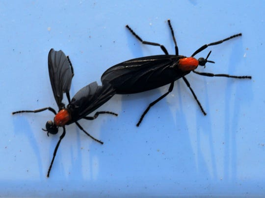 One of Florida's most annoying insect species is the love bug.