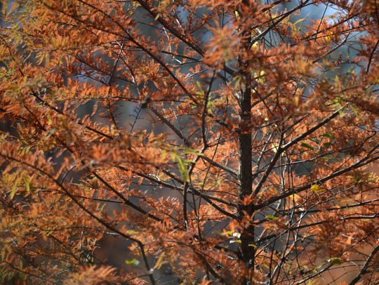 Needles on a bald cypress tree change color.