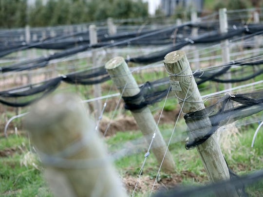 Fruiting wires are lined with heat tape in an experimental approach at Heart and Hands Wine company in Union Springs.