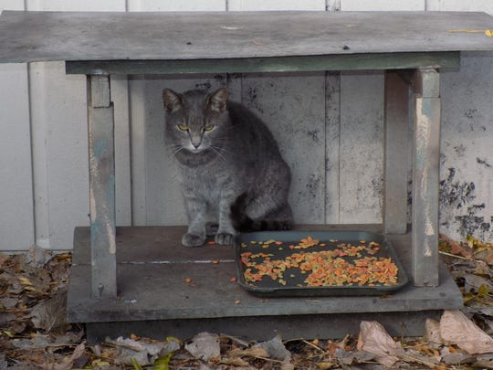A feral cat from the Secaucus TNR program lounging by its feeding station.