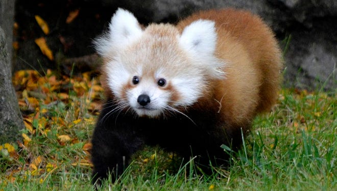 Tofu, a newborn red Panda, is shown in her enclosure at the Detroit Zoo.