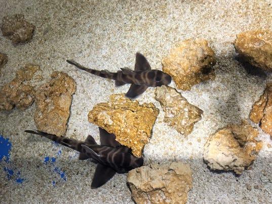 636627656415910972-Baby-Japanese-Bullhead-Sharks.JPG