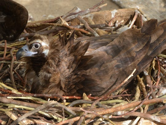 A Eurasian black vulture chick was born May 6, 2016, at The Living Desert with the help of foster parents Vicky and Vinnie.