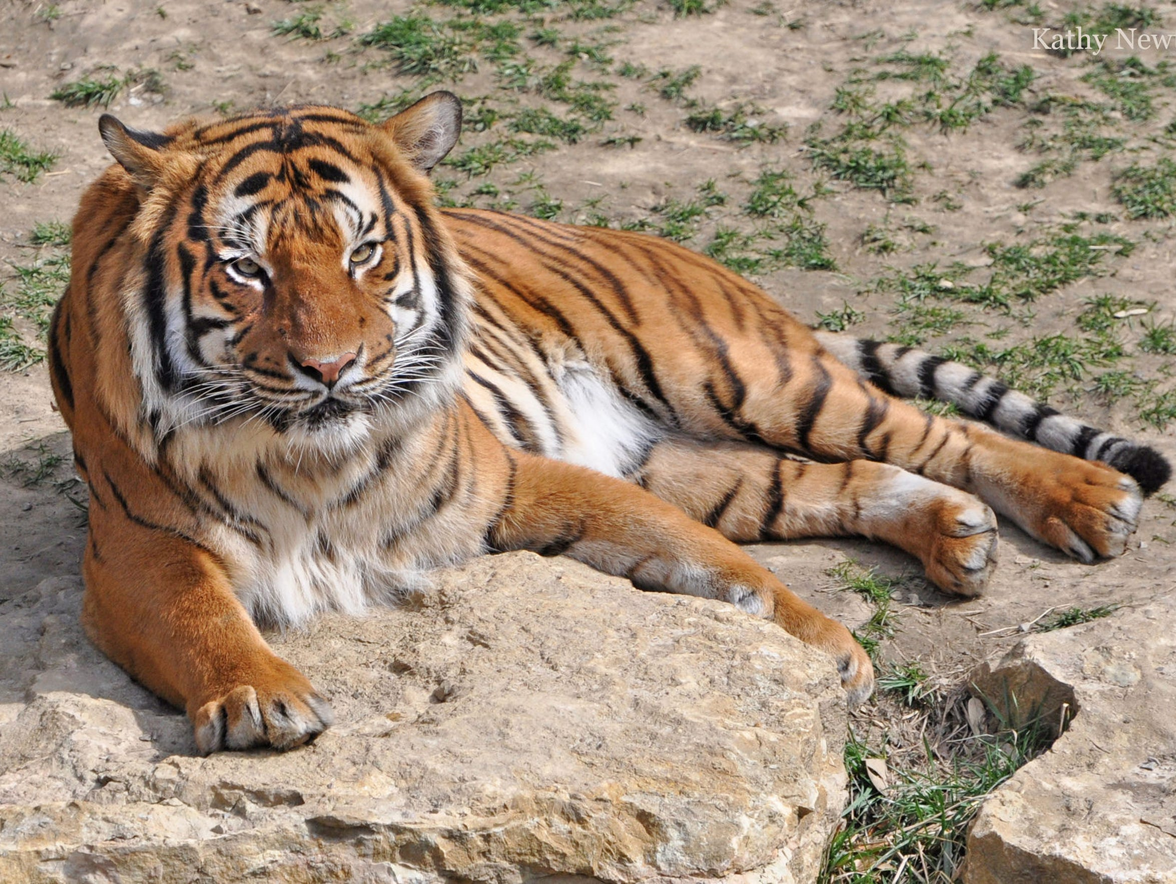 Malayan tiger brothers, Taj and Who Dey, pictured here,