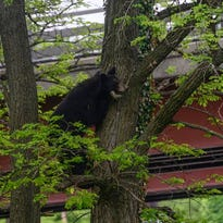 Spooked by noise a young black bear climbed a tree May 24 on Vestal Road in Vestal. Officials at the scene recommend that the bear be left alone so it can make its way back into its habitat.