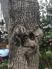 The gnarled truck of a Bradford pear tree in Ron Barnett's