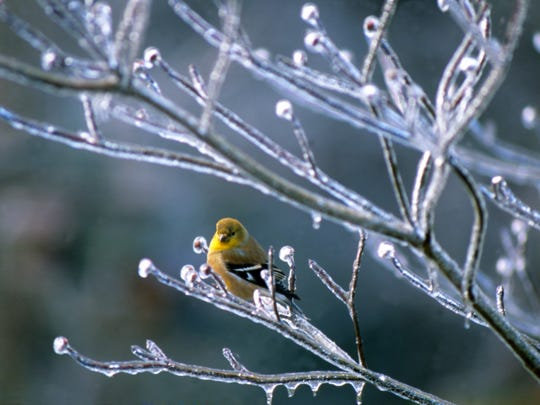 Goldfinch in icy tree.