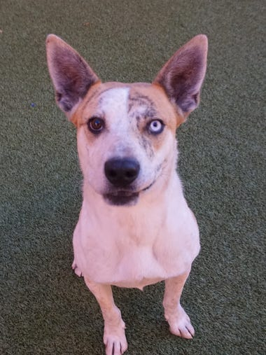 Tony Tiger is an active, 3-year-old catahoula/shepherd
