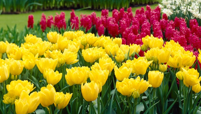 "This photo provided by courtesy of John Scheepers Beauty from Bulbs shows yellow double early tulips, ""Monte Carlo,"" in Keukenhof in Lisse, Netherlands. The ""Monte Carlo""is a tulip varietal that appeals to the nose as well as the eyes -- fragrant enough to scent an entire room if brought indoors."