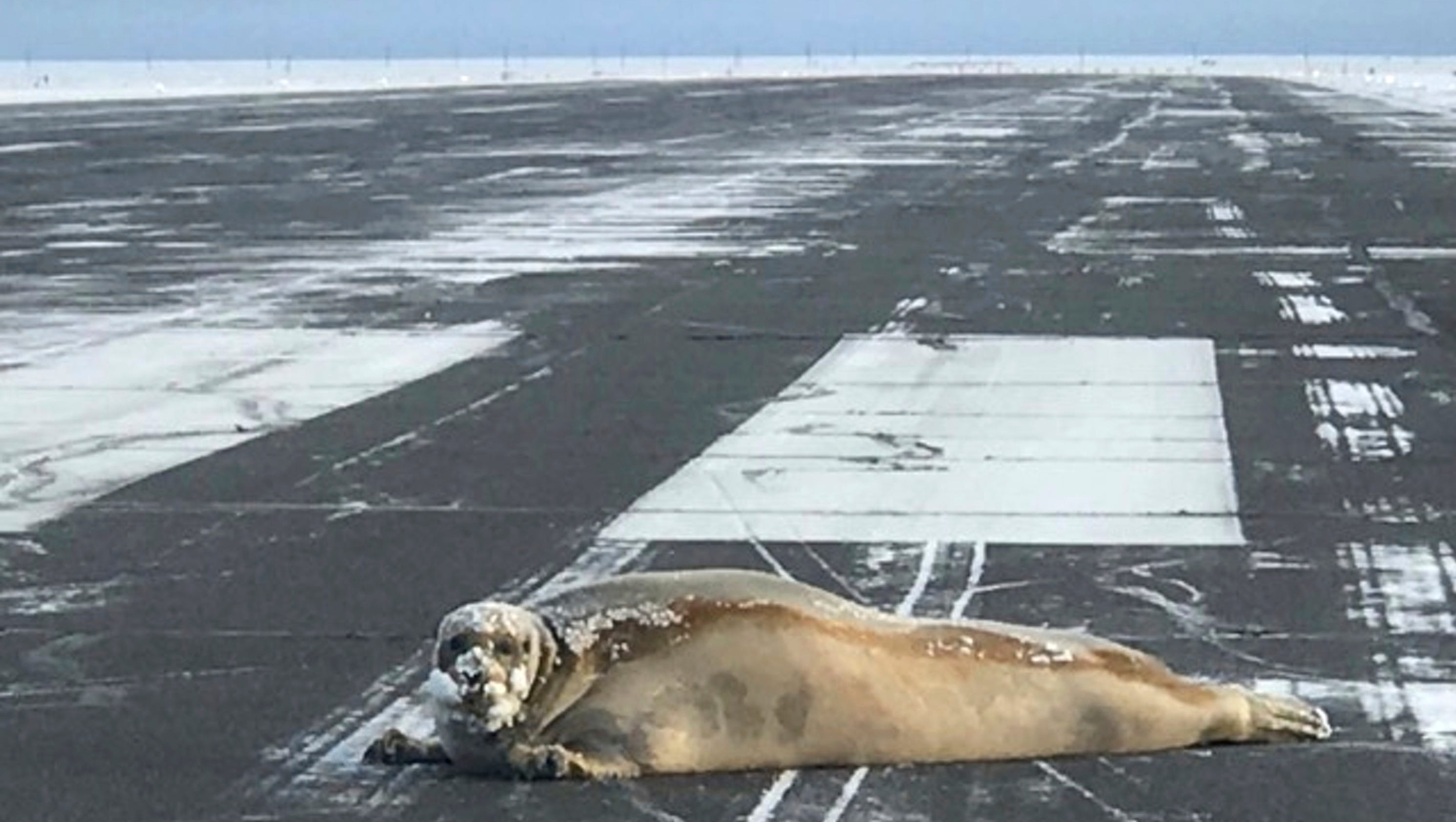 Seal Delays 450 Pounder Removed From Alaska Airport Runway