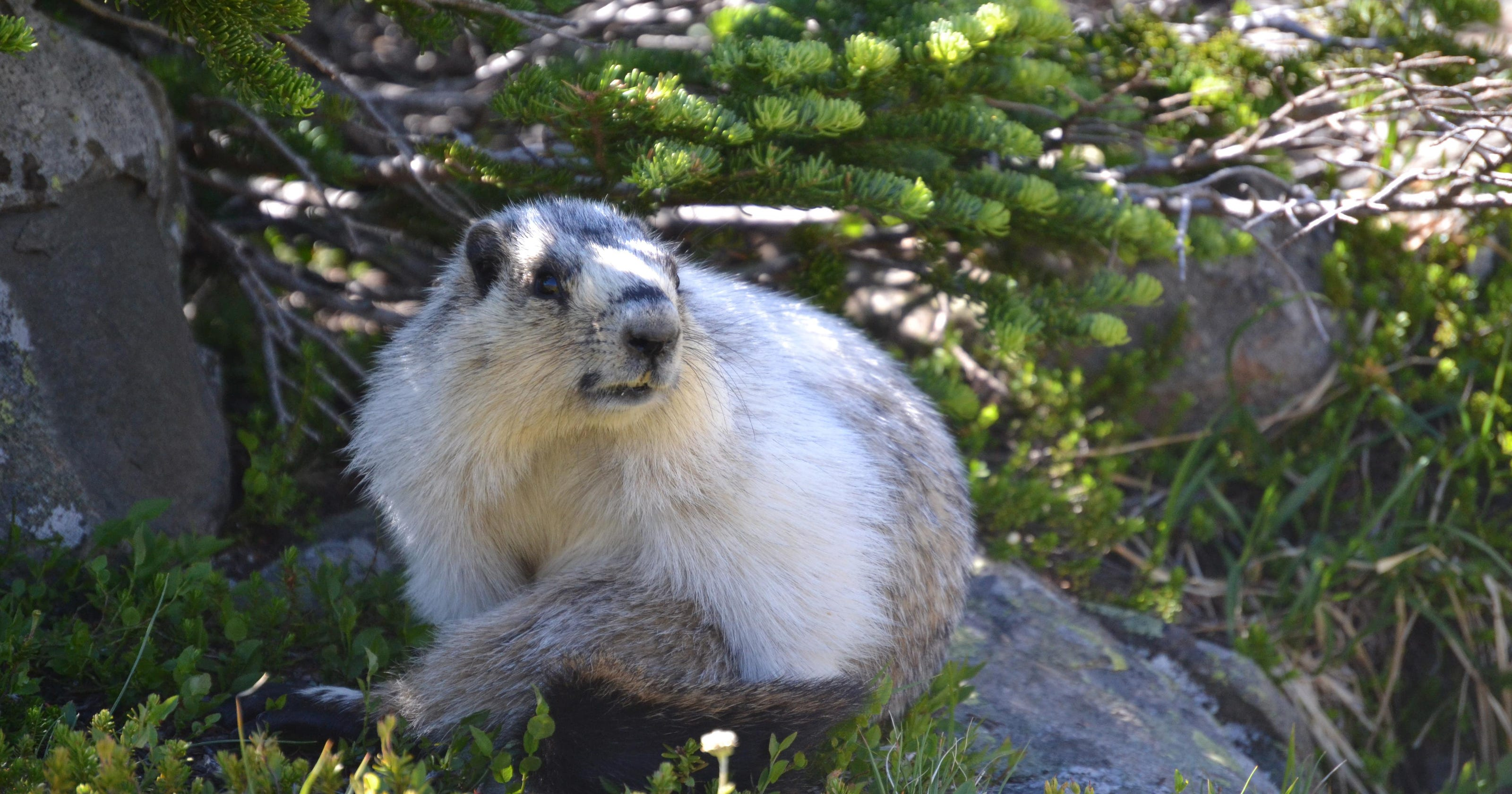 Marmot mysteries: Team goes extra mile to learn more
