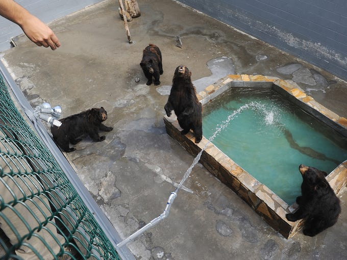 At Cherokee Bear Zoo in Cherokee, N.C., which remains open but has been the target of animal-rights activists, black bears wait for visitors to feed them in their concrete pit in July 2011. The zoo contains several types of bears, including native black bears, grizzly bears and brown bears at its location in downtown Cherokee.