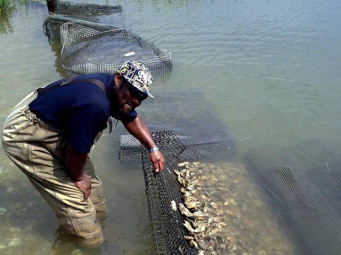 Ricky Wharton retrieves an oyster cage at Tom's Cove Aquafarms on Chincoteague Island.