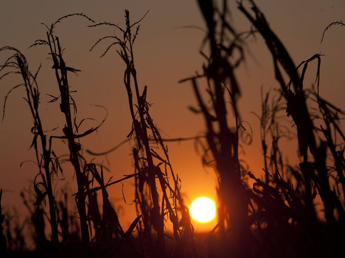 Severely damaged corn stalks are seen at sunset on a farm near Oakland City, Ind.