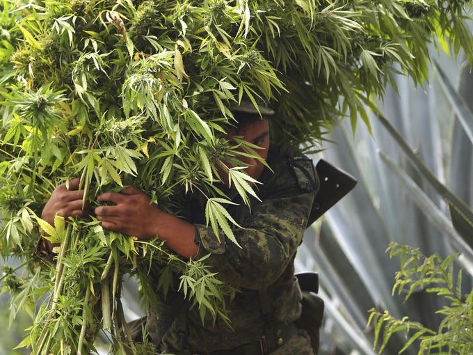 A Mexican soldier carries marijuana plants after a large pot plantation was seized in Hostotipaquillo. The army has destroyed 98 acres of marijuana plantations and burned 50 tons of plants.