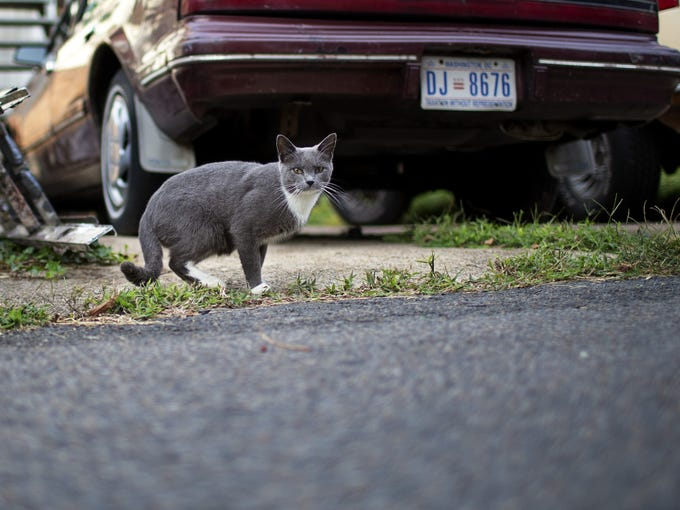 A feral cat lurks in an alleyway behind a house in Washington, D.C.