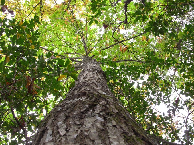 An American chestnut tree spreads a canopy of leaves on Traylor Renfro's mountaintop retreat on Oct. 10 in Grassy Creek, N.C. About 50 feet tall, the tree has yet to show signs of the blight that has all but wiped out the iconic American species.