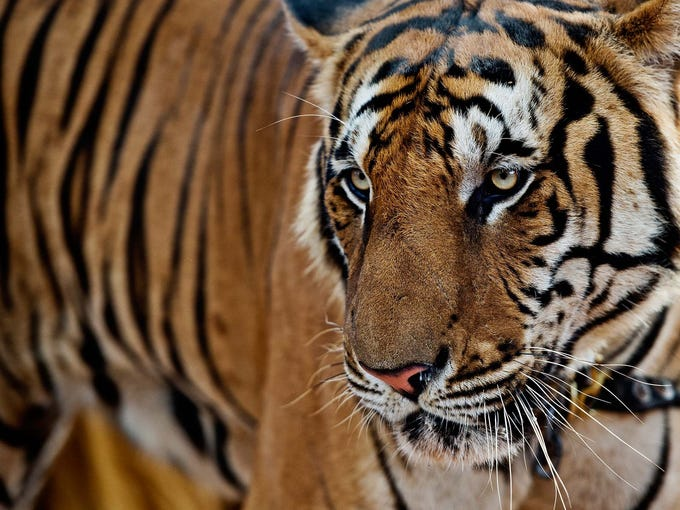 A tiger walks through the Kuchanaburi Tiger Temple on Oct. 23 in Thailand. The illegal trade in wildlife is worth at least $19 billion per year, making it the fourth largest global crime after narcotics, counterfeiting, and human trafficking, according to a report commissioned by the World Wildlife Fund.
