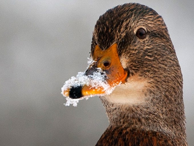 A duck chills Dec. 13 on the edge of the Ilmenau River in a park in Bad Bevensen, in central Germany.