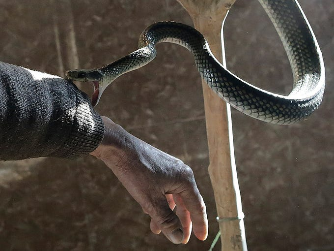 Snake farm worker Zhu Liangfa plays with a serpent on Jan. 28 at the Snake Culture Museum in Zisiqiao village, China. The village raises 3 million snakes a year for traditional medicinal products and food.