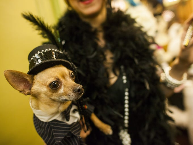 Eli, a Chihuahua from the Upper West Side of Manhattan, poses on the red carpet at the New York Pet Fashion Show at Hotel Pennsylvania in New York City on Friday.  The Westminster Kennel Club Dog Show will go off as planned despite the winter storm.