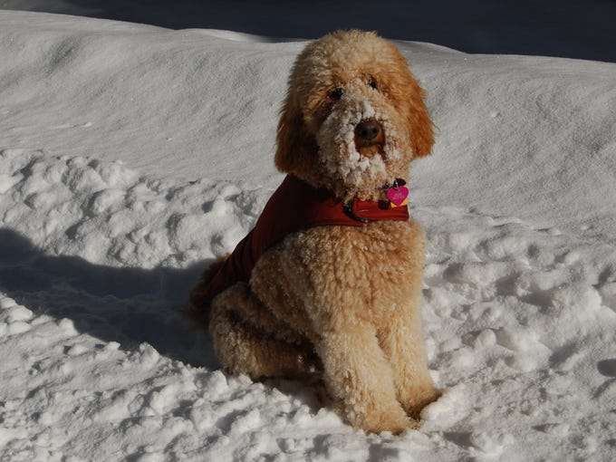 Richard Sipe captured this photo of Goldie the golden doodle at Sno-Park in Cougar, Wash.