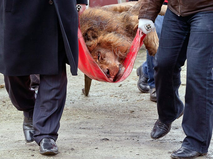 A sedated lion is carried on a stretcher at the estate of suspected gangster Ion Balint on Feb. 27 in Bucharest, Romania. Balint, known as Nutzu the Pawnbroker, was arrested Feb. 22 on charges of attempted murder, kidnapping, blackmail and illegal weapons charges. He was known to frequently use the animals to intimidate his victims, police say.