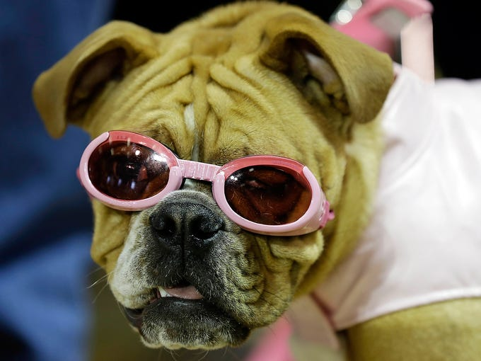 A bulldog named Harley waits to be judged during the 34th annual Drake Relays Beautiful Bulldog Contest at Drake University on April 22 in Des Moines. The bulldog is the mascot of the university.