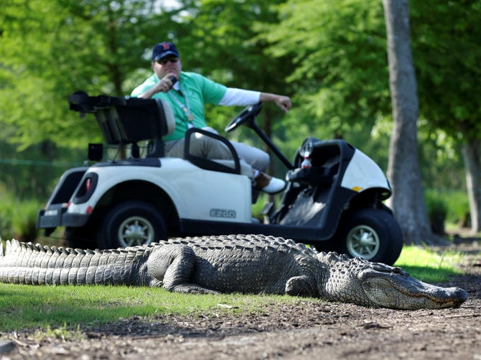A worker in a golf cart stands watch as an alligator makes an appearance Thursday during the first round of the Zurich Classic. He had only three legs, but his teeth are intact..