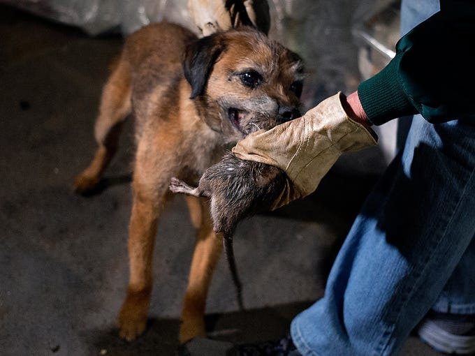 Susan Friedenberg grabs a rat from Tanner, her Border Terrier, as dogs and their owners hunt rats on April 26 in lower Manhattan in New York City.