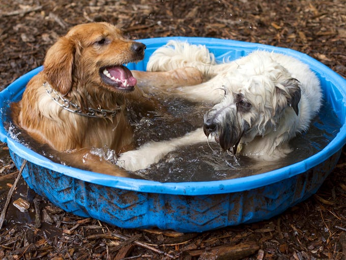 Cooley, a golden retriever, left, cools off in a swimming pool with Wally, a Wheaten terrier, at the Millbrook Exchange Park dog park in Raleigh, N.C., on July 5, 2013.