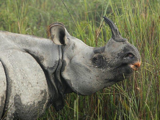 Single horned animals