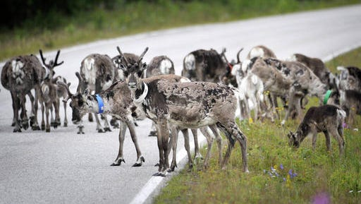 In this July 13, 2009 photo,  reindeers walk across the road in Suomussalmi, Finland. There's good news for Rudolph and his friends _ an app is helping officials reduce the number of reindeer killed in traffic accidents in Finland. A simple, one-button interface allows drivers to tap their smartphone screens to register any reindeer spotted near roads. Using GPS technology, it creates a 1.5-kilometer (1-mile) warning zone that lasts for an hour and warns other app users approaching the area.