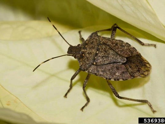 635805186955393860-10-19-2015-Brown-marmorated-stink-bug