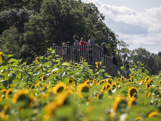 Families explore the sunflower fields at C&C Reading Farm in West Bridgewater during Fall Fun on Labor Day weekend on Sunday, Sept. 6, 2020. Guests to the farm reserved 45minute spots to walk the different corn mazes and sunflower fields.