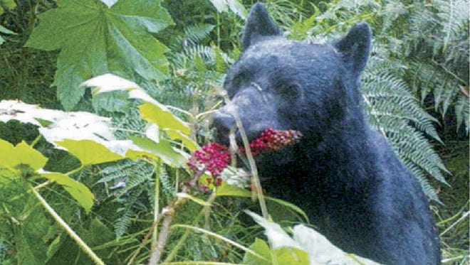 In this 2014 image from a remote camera trap provided by Taal Levi, a black bear eats devil's club berries near Haines, Alaska.