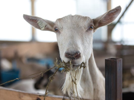 Wisconsin has more dairy goats than any other state.