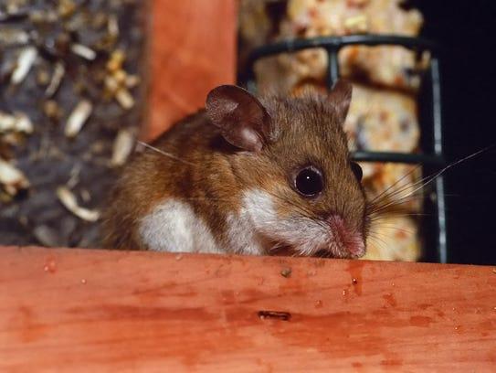 Deer mouse in bird feeder.